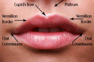 lip anatomy